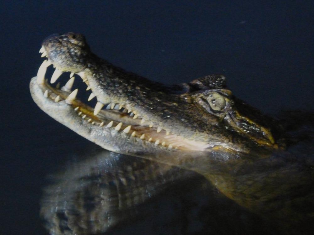 amazonas-ecuador-caiman