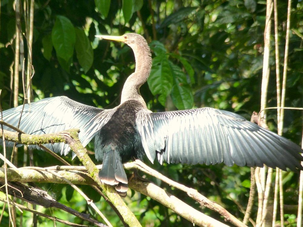 ecuador-amazonas-ave