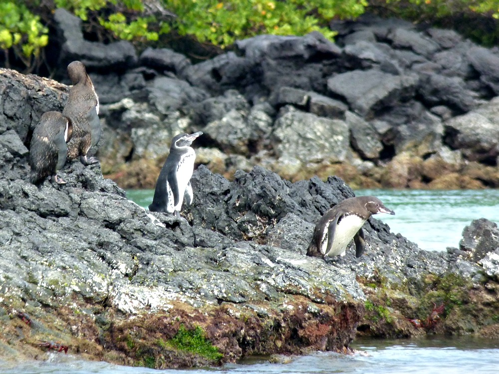 galapagos-pinguino-mar