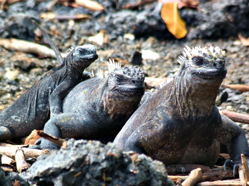 iguanas-galapagos-mar